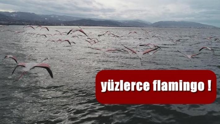 İzmit Körfezi'ne flamingo akını renk kattı
